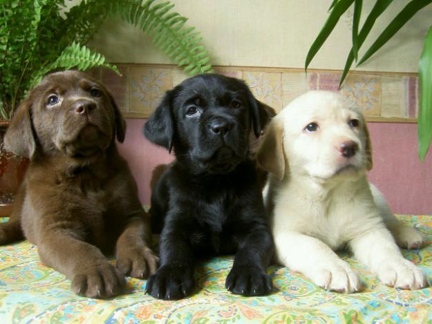 Puppies-Labrador-Retriever