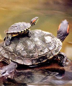 Cuidados b sicos para las tortugas de agua c mo debemos for Peceras para tortugas