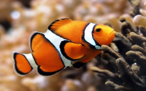 animales-peces-pez-payaso