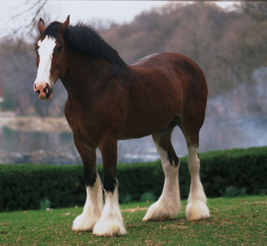 caballobudweiser-clydesdale