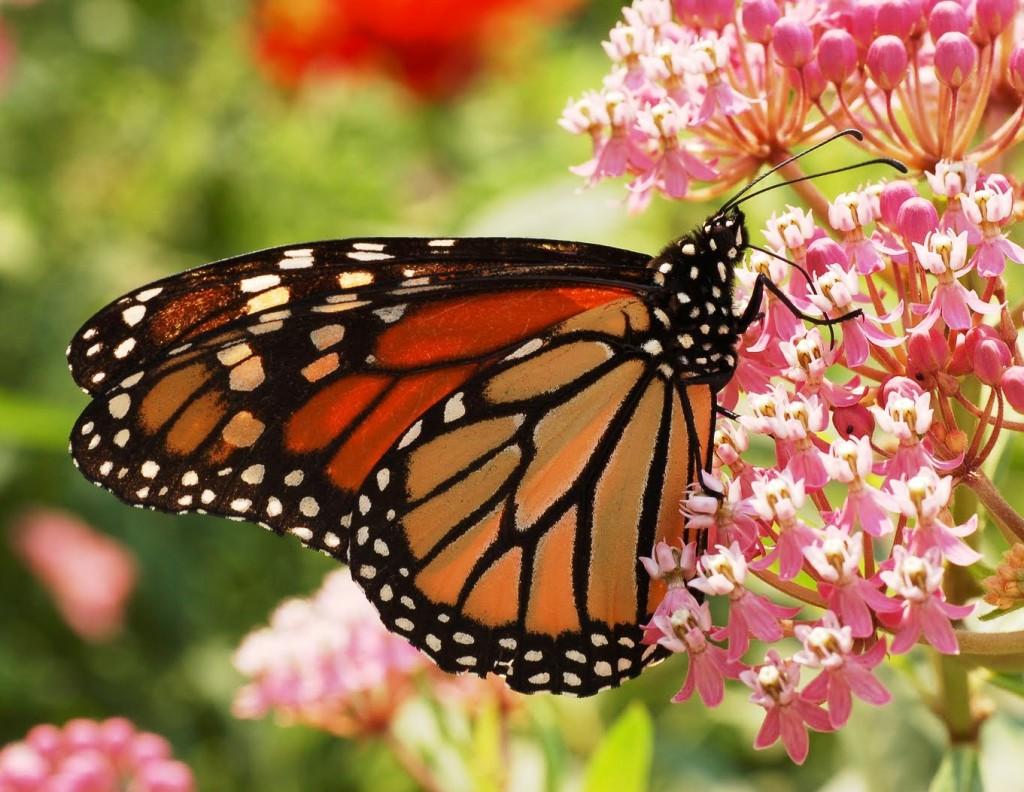 mariposa-monarca3