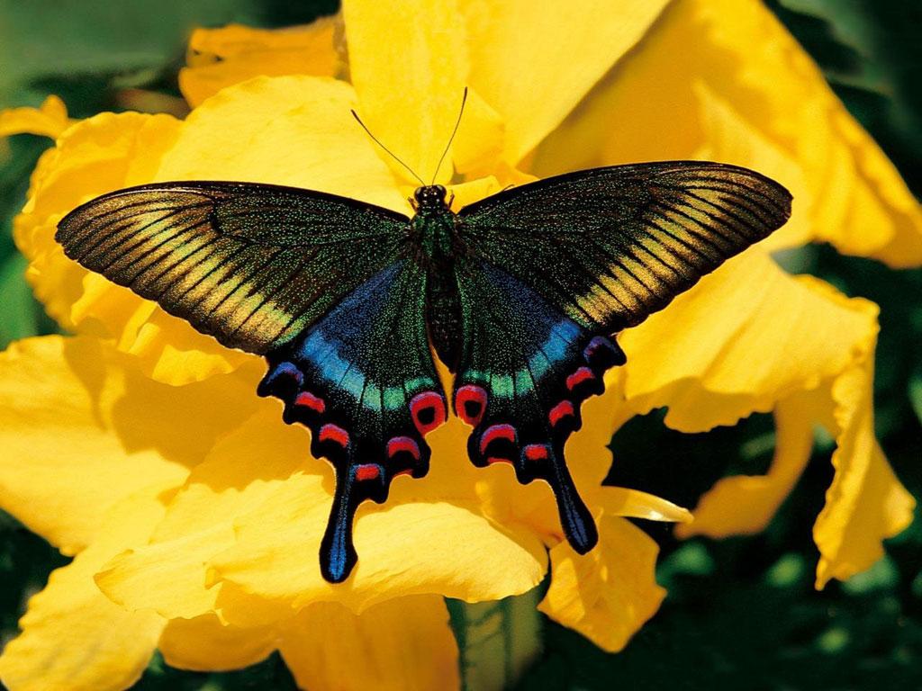 mariposas-flores-mariposas-colores