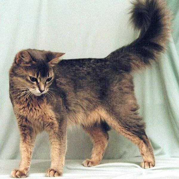 Razas de gatos persa siames azul egipcio bengal for Largo somalia