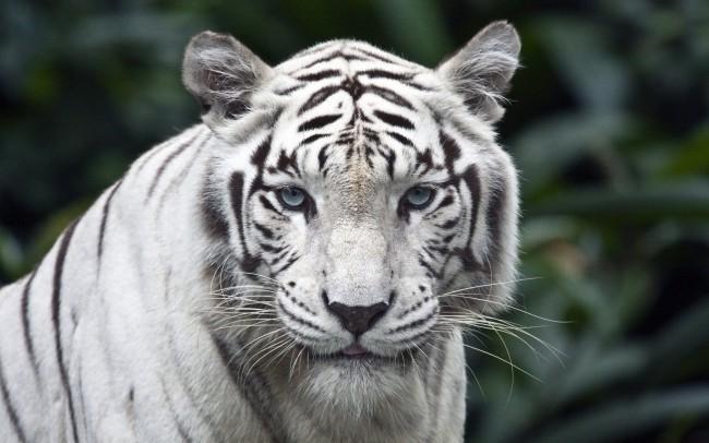 Tigre_de_siberia