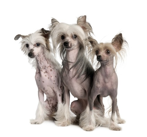 chinese-crested-1