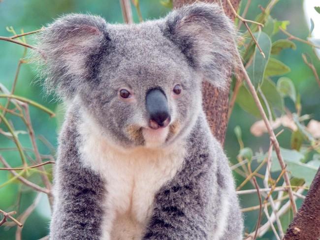 koala-smile1