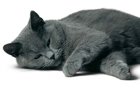 Gatos-Chartreux