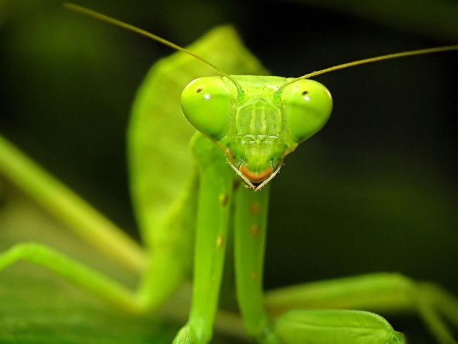 Mantis-religiosa