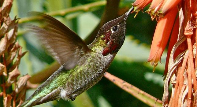 colibri31