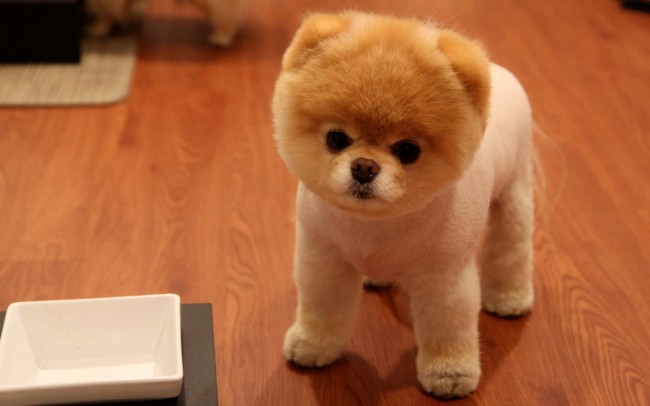 cute_pomeranian_dog-1280x800-755570