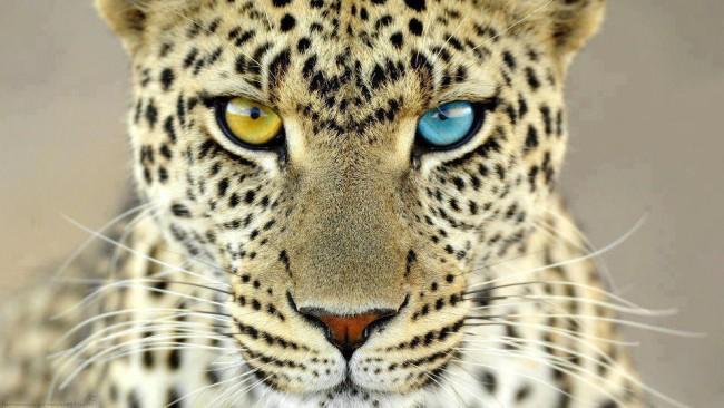hete8 leopardos