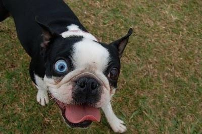 heterocromia-en-perros