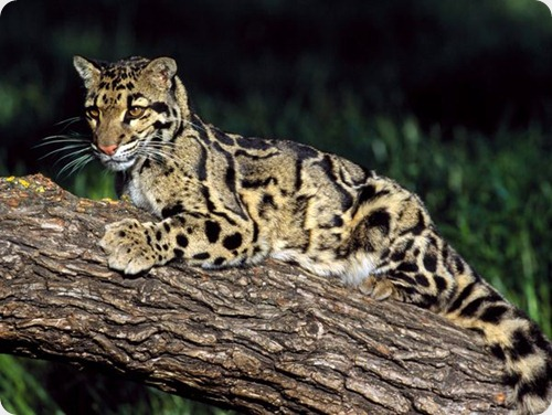 leopardo nublado2_thumb[2]