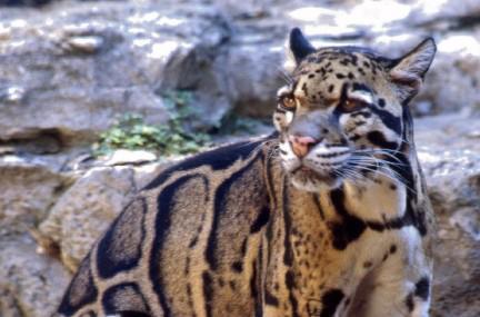 leopardo449