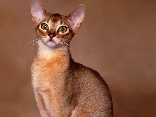 raza-gato-absinio