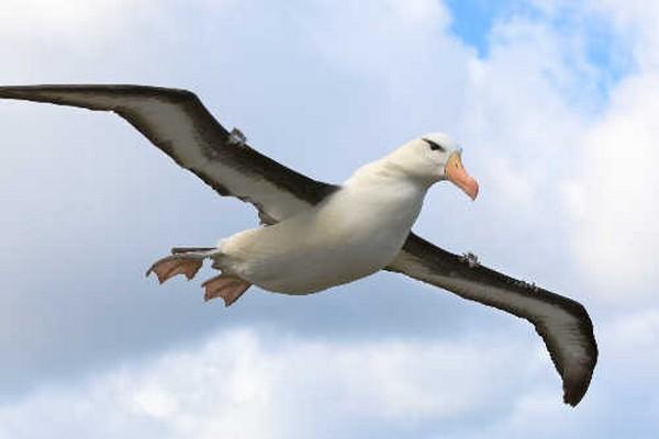 Sortbrynet albatros lægger an til landing