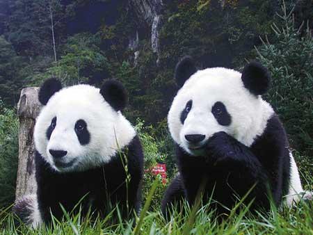 zzzzzzzoso-panda-en-peligro