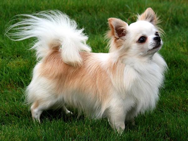 ChihuahuaPeloLargo