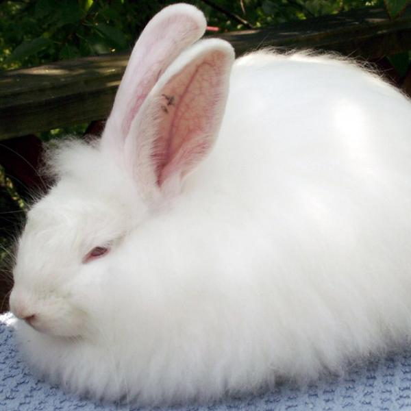 ConejosFrenchAngora