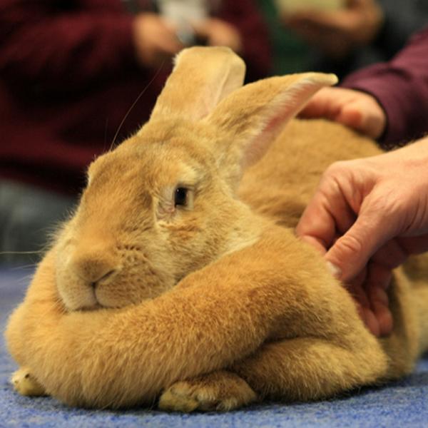 ConejosRazaGigante