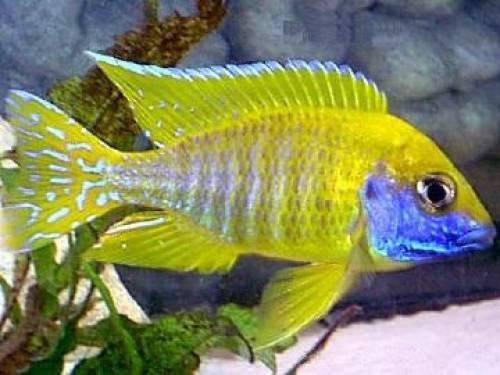 aulonocara_fire_fish_und_viele_aulonocaras_zu_verkaufen