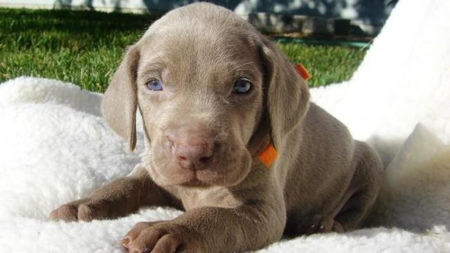 characteristics-weimaraner-puppies_82ba26b43b3601ae
