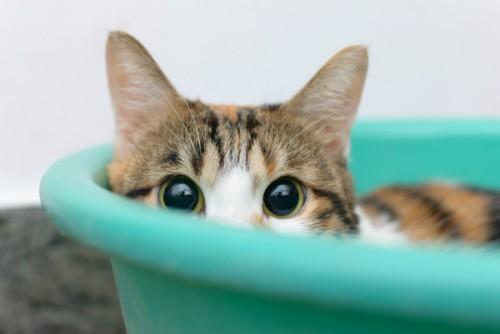 gato-timido-500x334