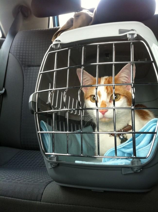 gatos-viajar-coches