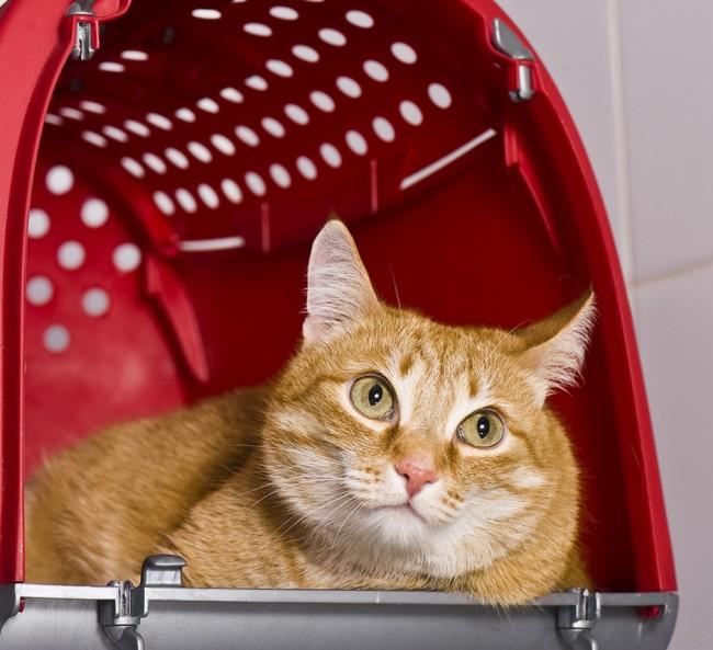 gatos viaje184058306_viajar_en_coche_con_mi_gato_0