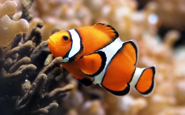 pez-payaso-para-ordenador