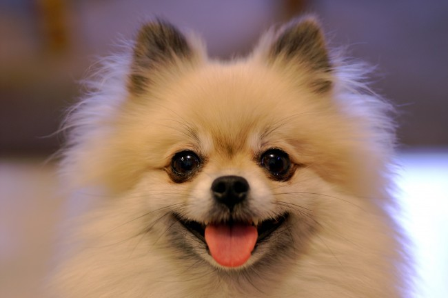 Smiling_Tan_Pomeranian
