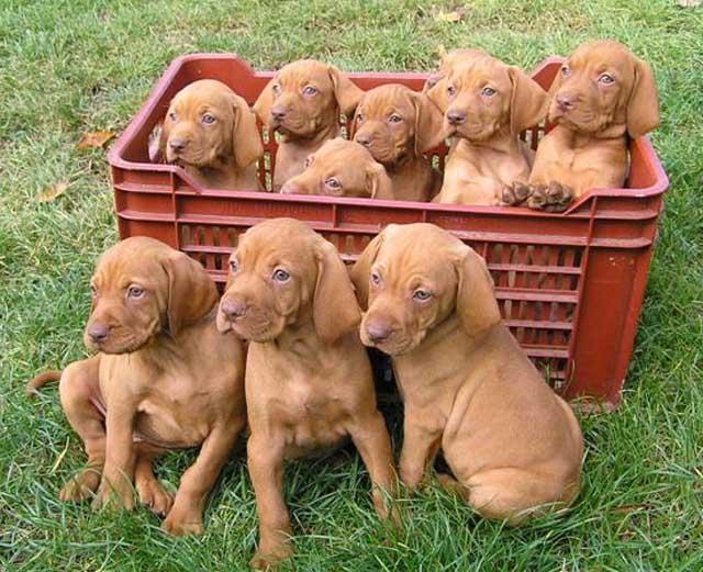 Vizsla-foto-cachorros