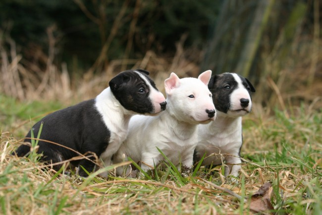 miniature-bull-terrier-2