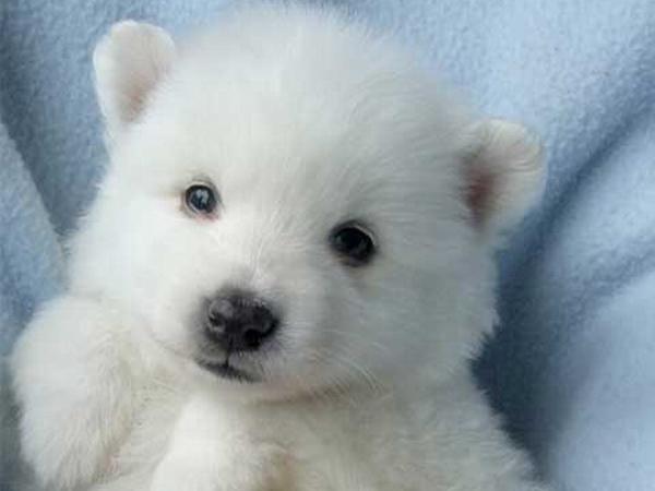 Perro de raza esquimal americano como lo cuidamos y que - Cercados para perros ...