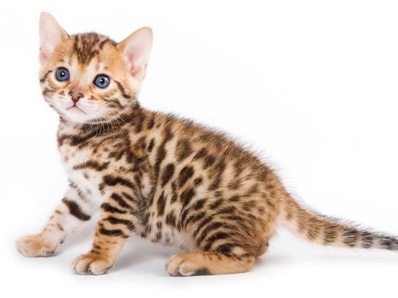 gato-bengalí