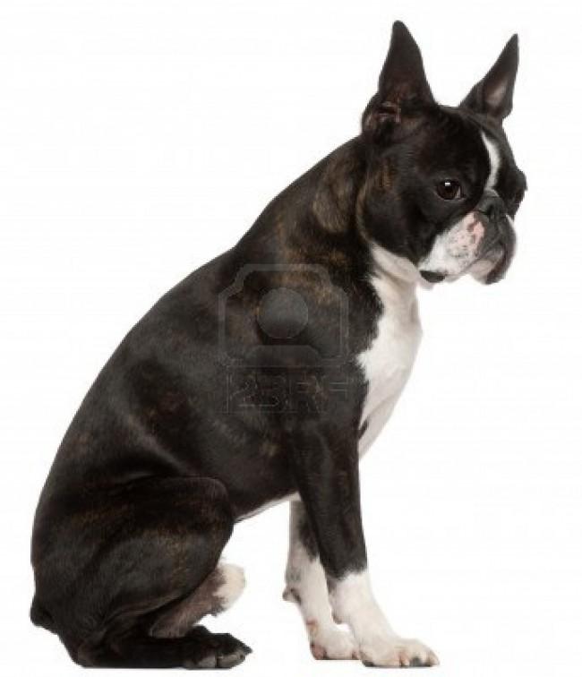perroboston-terrier-libro-secretos-adiestramiento-cuidados-cria-7044-MLA5150922558_102013-F