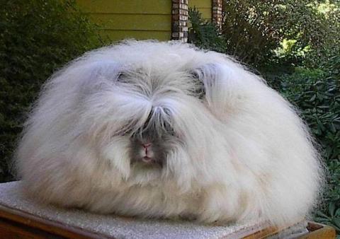 Conejooce-las-fascinantes-razas-de-conejos-gigantes-que-existen-01