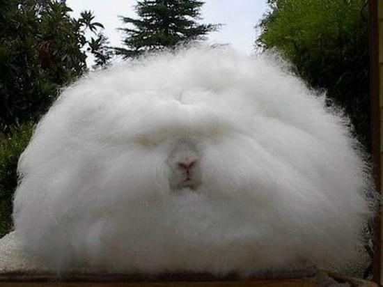 conejo-angora-dejan-de-producir-china-2