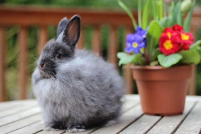 conejo-angora-negro