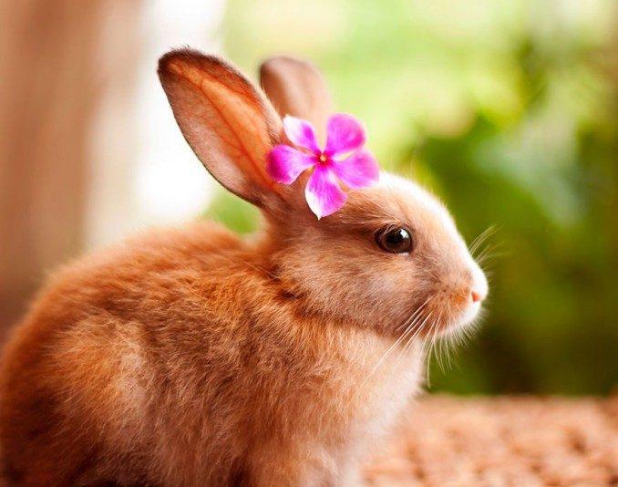 conejo-domestico