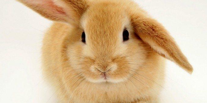 conejo-enano