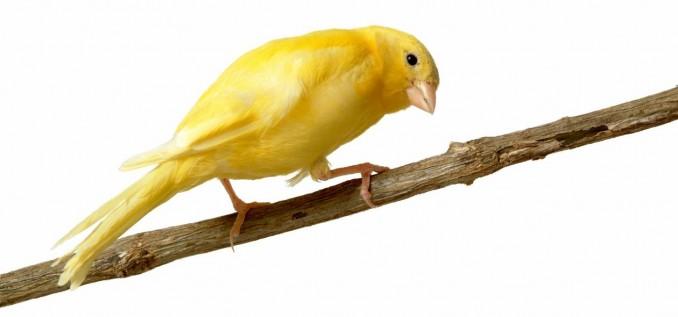 razones-para-escoger-un-canario-como-mascota