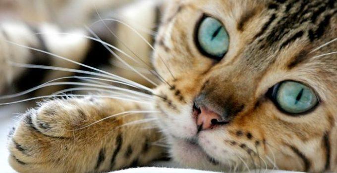 zatooosenfermedades-mas-comunes-en-gatos