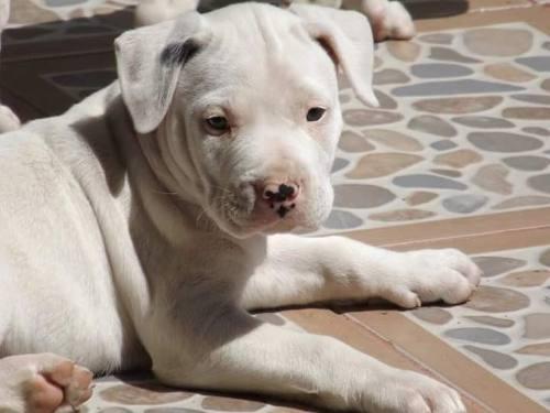 dogo-argentino-cachorros-577311-MLM20543452364_012016-O