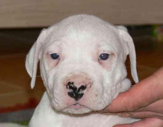 dogo64fca2cebeb7e8-cachorros-dogo-argentinocon-pedigree-61089_4