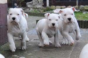 dogoorigen-planteadas-cachorros-dogo-argentino-espera-de-una_38631ef5d1_3