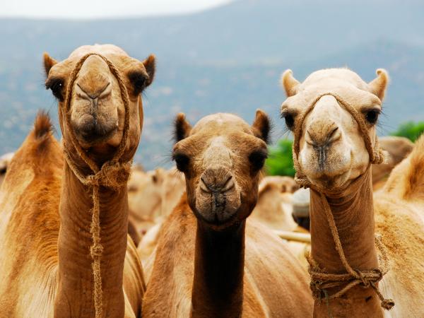 curiosidades sobre los camellos medio de transporte de