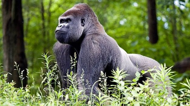 Gorila_de_montana-animales-peligro-extincion_TINIMA20150208_0235_5