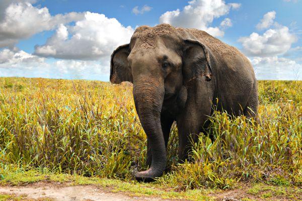 elefante-asiatico-2