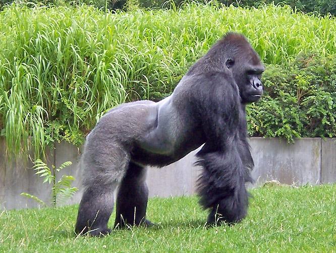 gorila-de-montaña